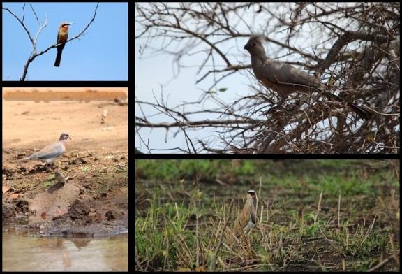 Abejaruco, turaco, paloma, gorrión y avefría coronada (1-11-2013)