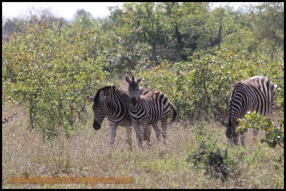 Varias cebras (30-10-2013)