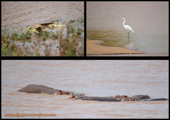 Cocodrilo, garceta e hipopótamos (1-11-2013)