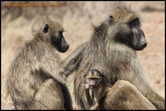 Familia de babuinos al completo (3-11-2013)