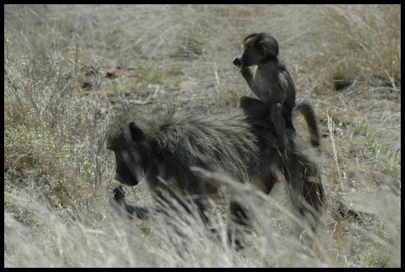 Babuino con cria en el lomo; Koldo Azedo (3-11-2013)