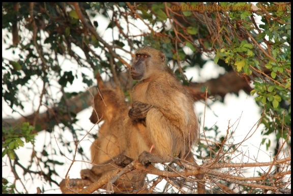 Babuinos en los árboles (5-11-2013)