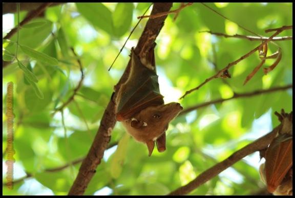Murciélago colgando (4-11-2013)
