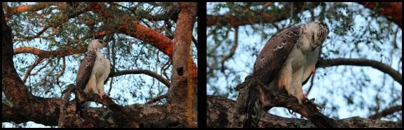 Águila recien comida (5-11-2013)