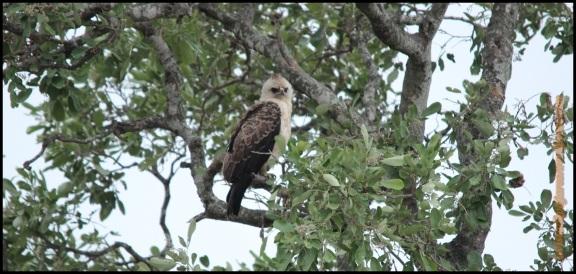 Águila de whalberg (2-11-2013)