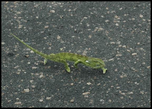 Camaleón caminando por la carretera; Koldo Acedo (2-11-2013)