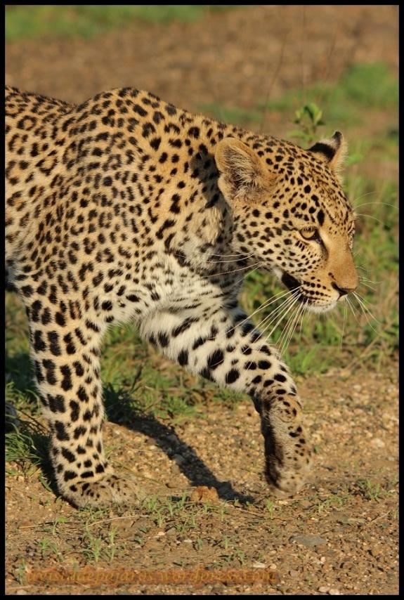 Leopardo caminando (6-11-2013)
