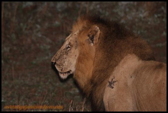 Macho de león (5-12-2013)