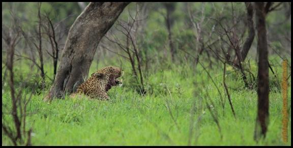 Leopardo bostezando (6-11-2013)