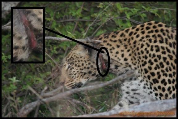Leopardo con lazo (6-11-2013)