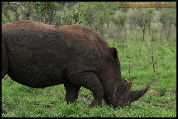 Rinoceronte con picabueyes (6-11-2013)