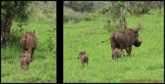 Facóqueros con sus crías (6-11-2013)