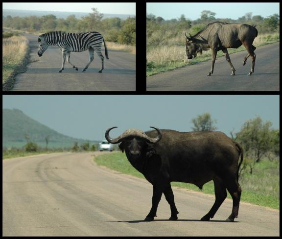 Cebra, ñu y búfalo cruzando la carretera; Koldo Azedo (5-11-2013)