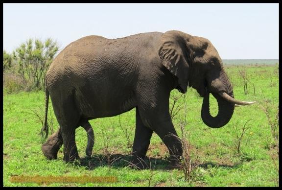 Elefante con sus trompas (5-11-2013)