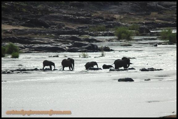 Elefantes cruzando (3-11-2013)