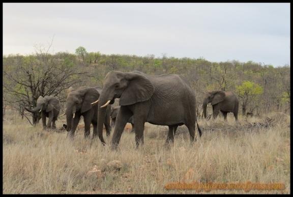 Manada de elefantes (2-11-2013)