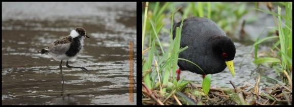 Polluela africana (2-11-2013)