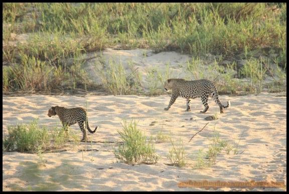 Pareja de leopardos en la arena (6-11-2013)