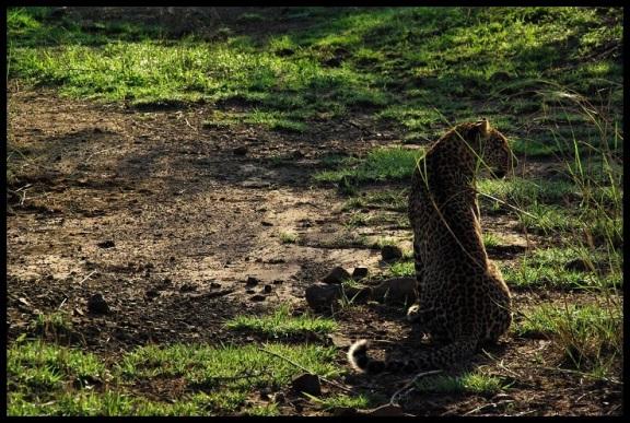 Leopardo entre sombras; María Martínez (6-11-2013)