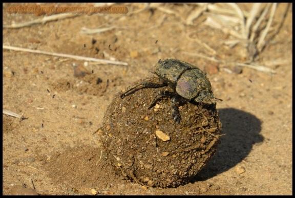 Escarabajo pelotero (5-11-2013)