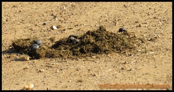 Varios escarabajoes entre las mierdas (5-11-2013)