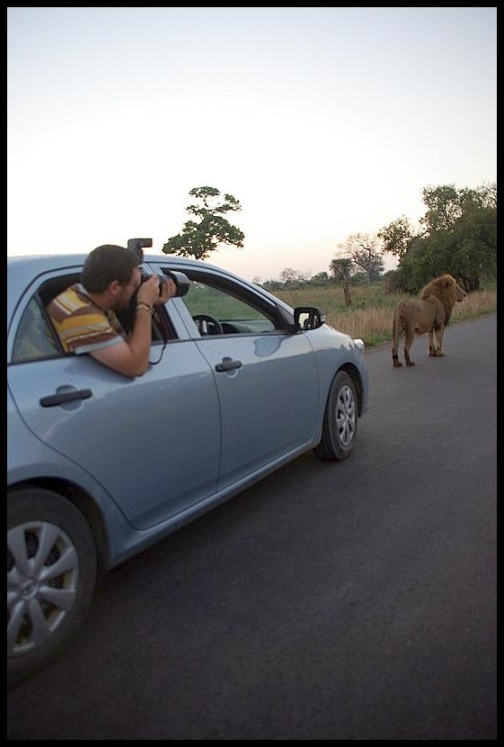Fotografiando al león (5-11-2013)