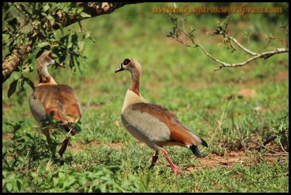 Gansos del Nilo (5-11-2013)