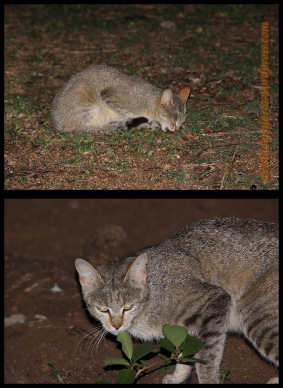 Gato salvaje sudafricano (3-11-2013)