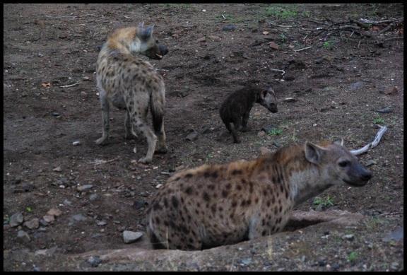 Hienas adulta con una cría; María Martínez (3-11-2013)