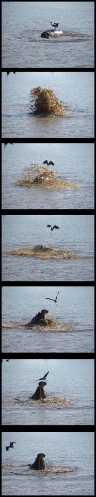 Hipopótamo espantando a la garza; MAría Martínez (5-11-2013)