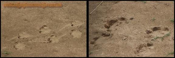 Huellas de hipopótamo (2-11-2013)