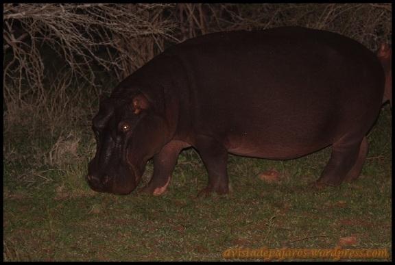 Hipopótamo nocturno (5-11-2013)