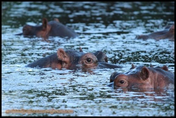 Hipopótamo (4-11-2013)