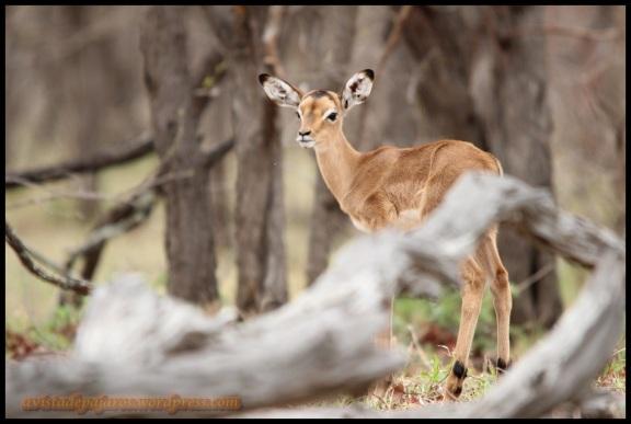 Cría de impala (2-11-2013)