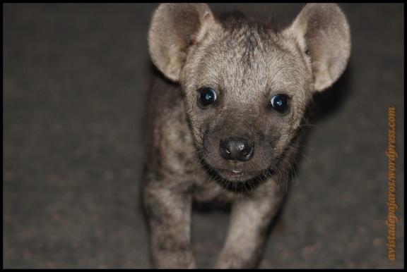 Rostro de hiena pequeña (2-11-2013)