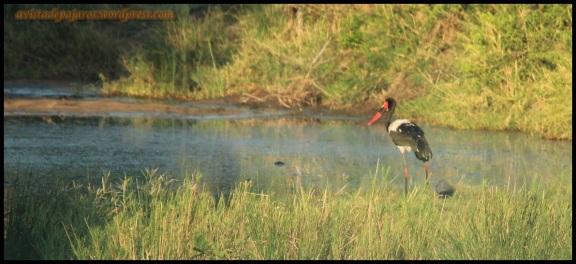 Jabirú africano (5-11-2013)