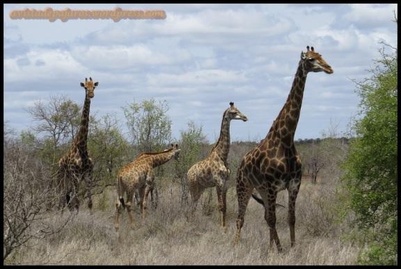 Grupo de cuatro jirafas (3-11-2013)