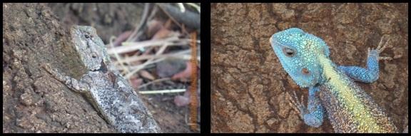 Hembra a la izquierda y macho a la derecha (5-11-2013)