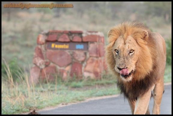 León andando, una de mis fotos favoritas de Sudáfrica (5-11-2013)
