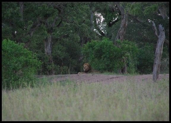 León con la cabeza de pie (4-11-2013)