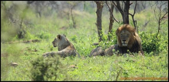 Pareja de leones tumbados (5-11-2013)