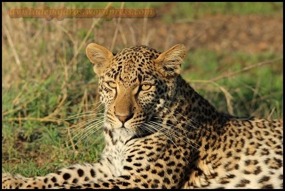 Leopardo tumbado (6-11-2013)