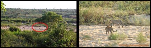 Leopardos hacia el río (6-11-2013)