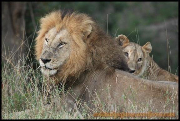 Ejemplar macho y hembra tumbados (5-11-2013)
