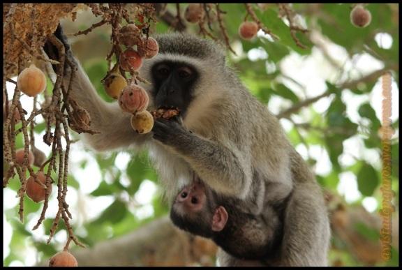 Mono comiendo y pequeño mamando (2-11-2013)
