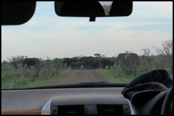 Manada de elefantes cruzando (6-11-2013)