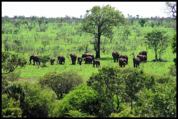 Manada de elefantes (5-11-2013)