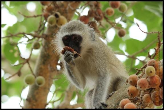 Mono comiendo (2-11-2013)