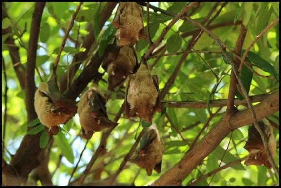 Grupo de murciélagos (4-11-2013)