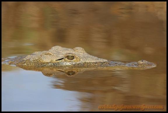 El cocodrilo permanecía tranquilo en el agua (3-11-2013)